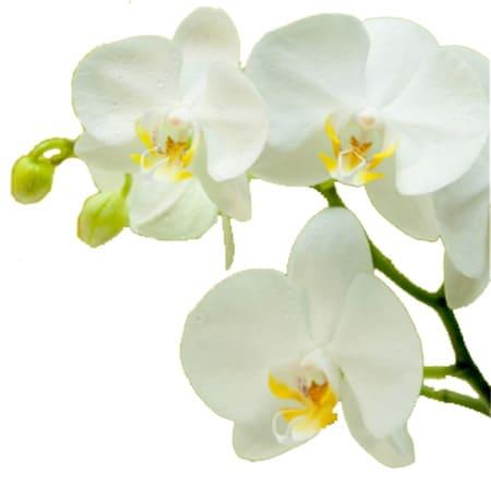 1.岐阜でお送りする場合は「つぼみ」の胡蝶蘭を好まれるケースが多い