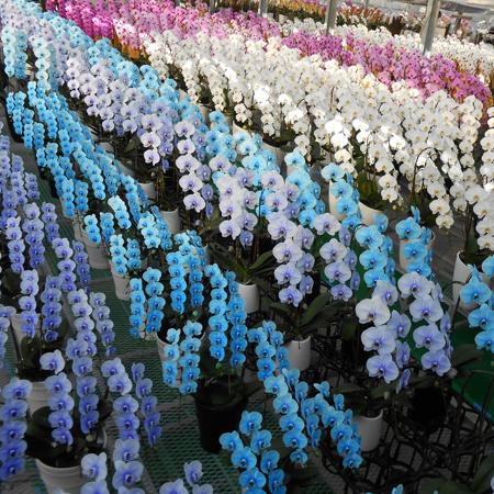 2.贈るシーンに合わせて胡蝶蘭の色を選びましょう